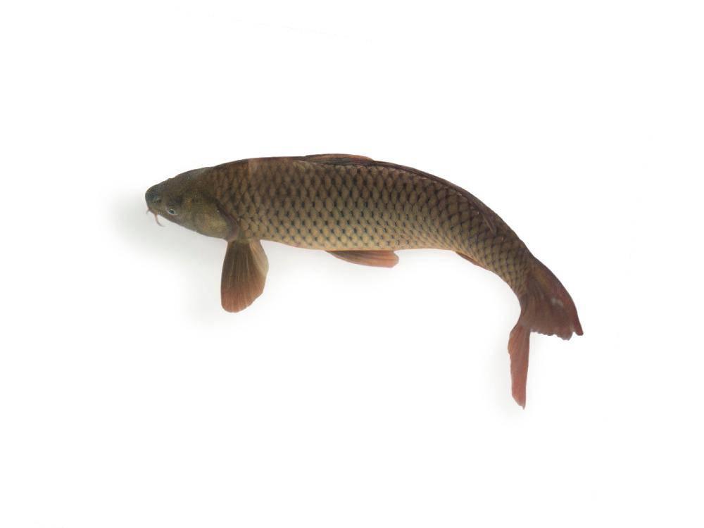 Cá Chép Sông Từ 1.5kg - 2kg Làm Sạch