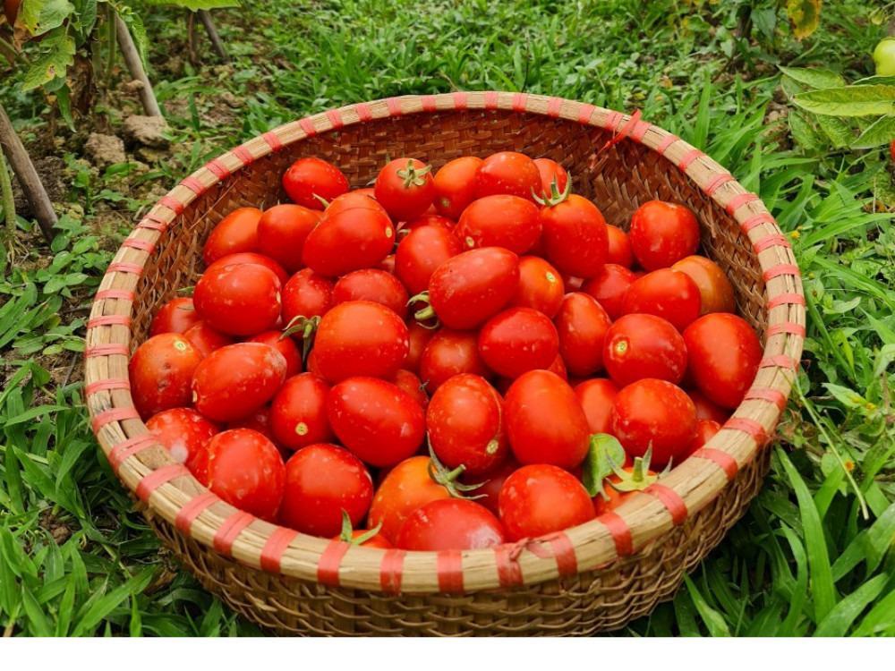Cà chua hữu cơ 3 Kg