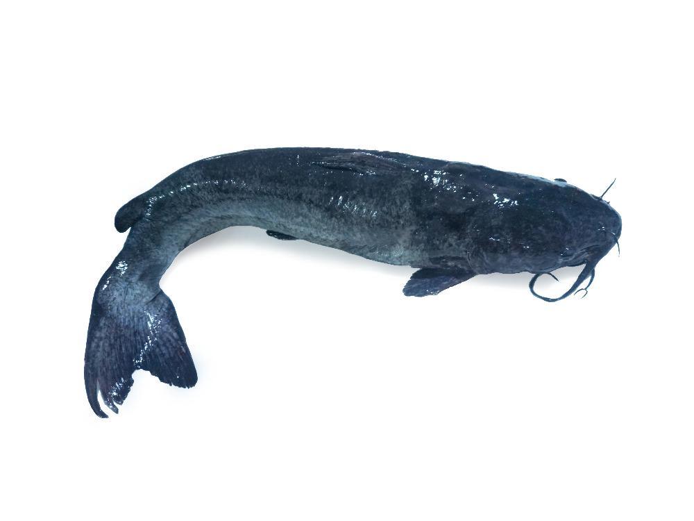 Cá Lăng Sông Đà Làm Sạch Từ 3kg - 4kg