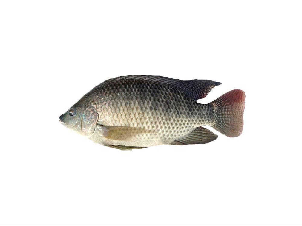 Cá Rô Phi Từ 1.2kg - 1.7kg Làm Sạch